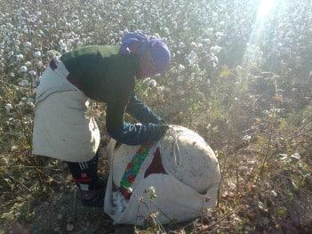 Cotton harvest in Uzbekistan. Photo: Shuhrataxmedov, Wikimedia Commons