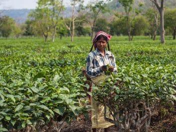 Assam tea worker credit: Rajan Zaveri