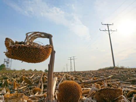 Sunflowers. Photo: Boris Rumenov Balabanov / World Bank